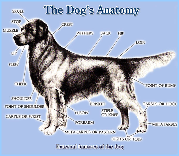 External Dog Anatomy Dog External Anatomy